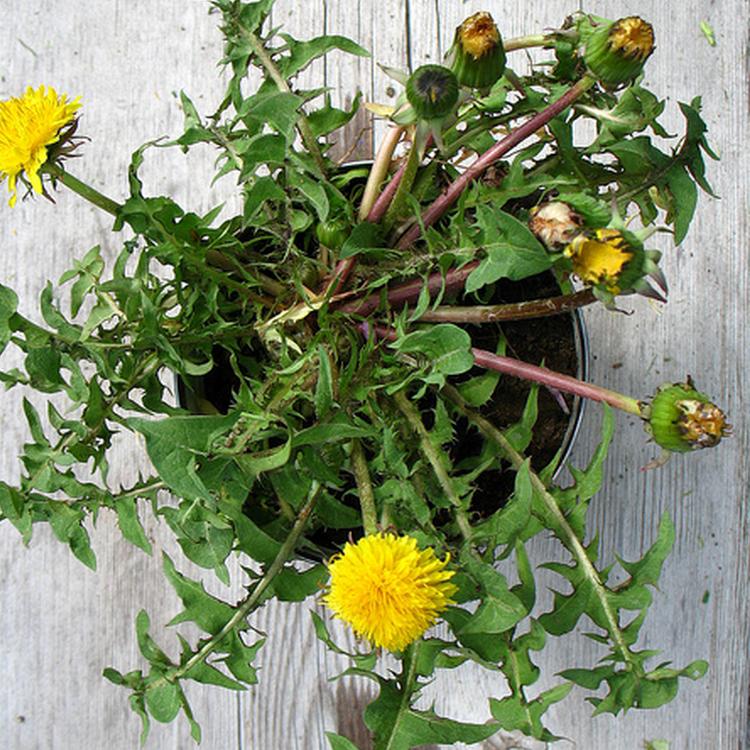 From Seeds To Symbols Dandelion Design In Our Lives Design Observer
