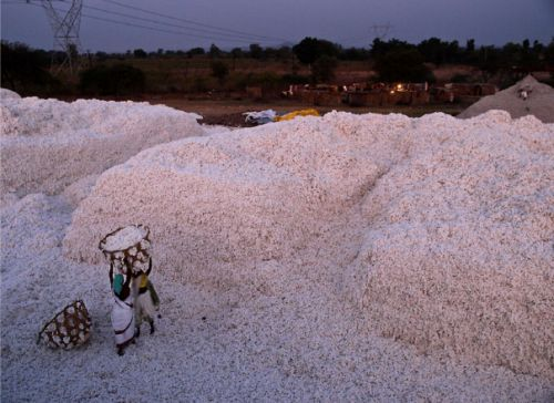 Cotton production, India. Courtesy of Uwe H. Marti
